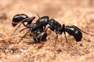 black ants on the soil