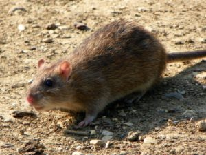 a rat on the ground