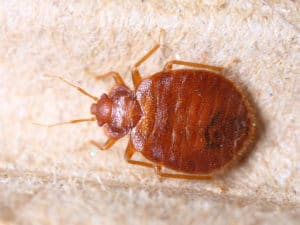a bed bug on carpet