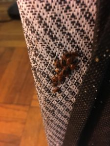 bed bug infestation on a curtain
