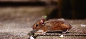 mouse exterminator, mouse, mice, nyc,