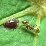 argentine ant and its food on a leaf