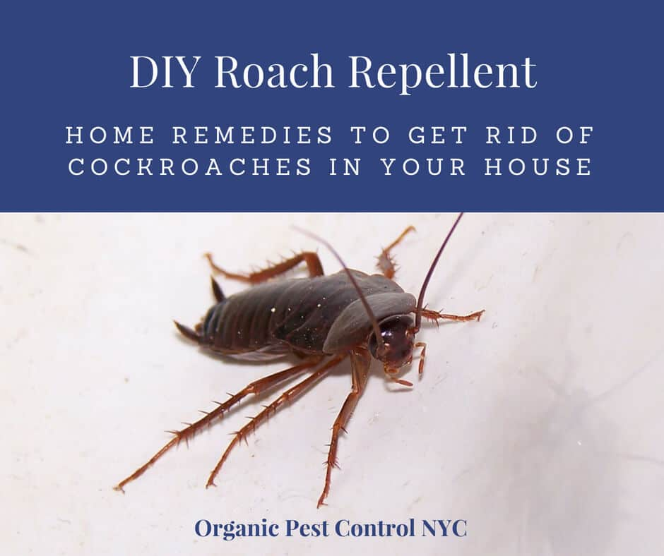 Diy Roach Repellent Home Remedies To Get Rid Of The Nasty Pests