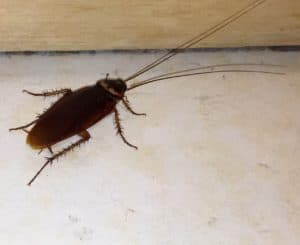 a cockroach is scurrying in the kitchen
