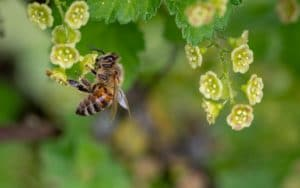 a honey bee near flowers