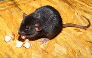 a black rat is chewing its food