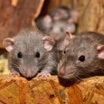baby mice in a wooden box
