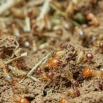 termites on the soil