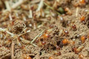 termites on the soil