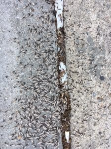 winged termites swarming on the ground