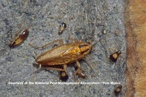 German Cockroaches on textured floor
