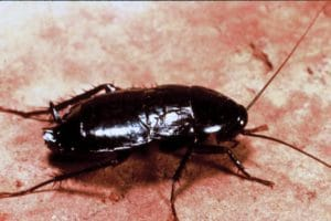 Oriental Cockroach on the floor