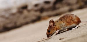a brown mouse lurking for food