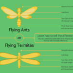 How to Identify Flying Ants vs Flying Termites Infographic