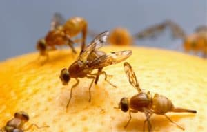 fruit flies on top of a fruit
