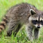 Raccoon on the grass